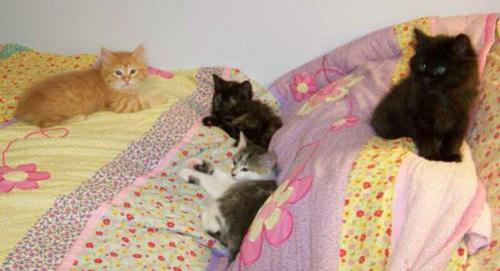 American bobtail Kittens Litter of kittens