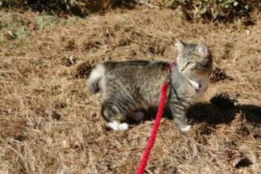 American Bobtail kitten leash training