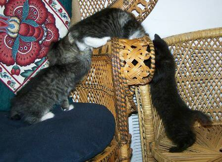 American bobtail kittens at Cherokee Mountain Bobtails